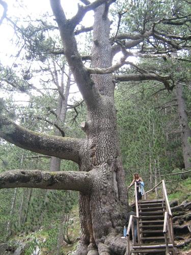 Baykusheva mura - The oldest coniferous tree in Bulgaria